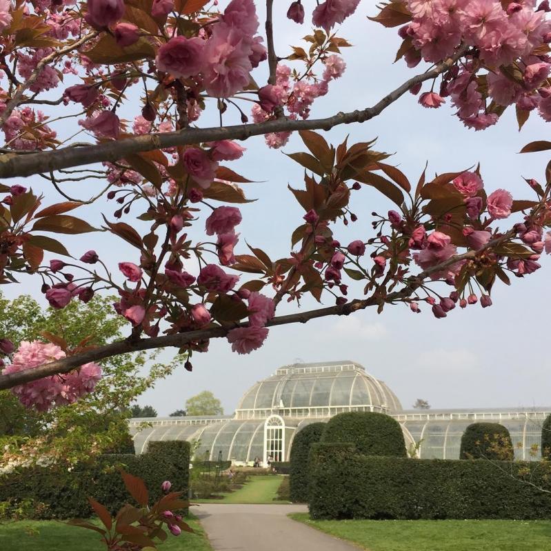 Où admirer les cerisiers en fleurs à Londres ?