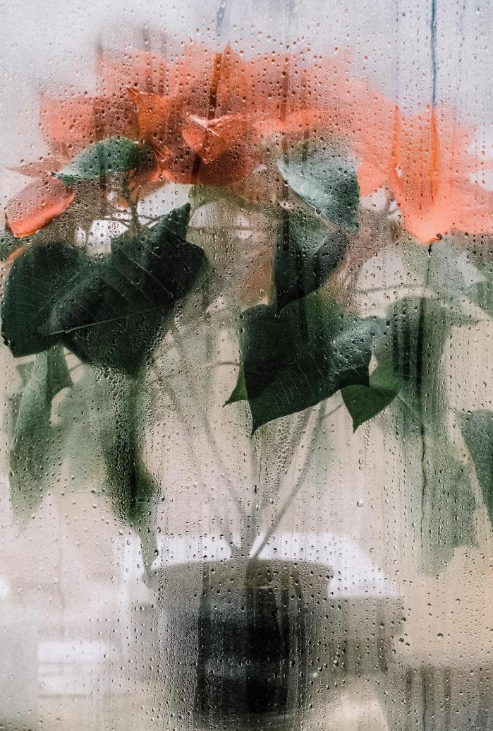 Les Poinsettia et le parfum des jacinthes à Noël