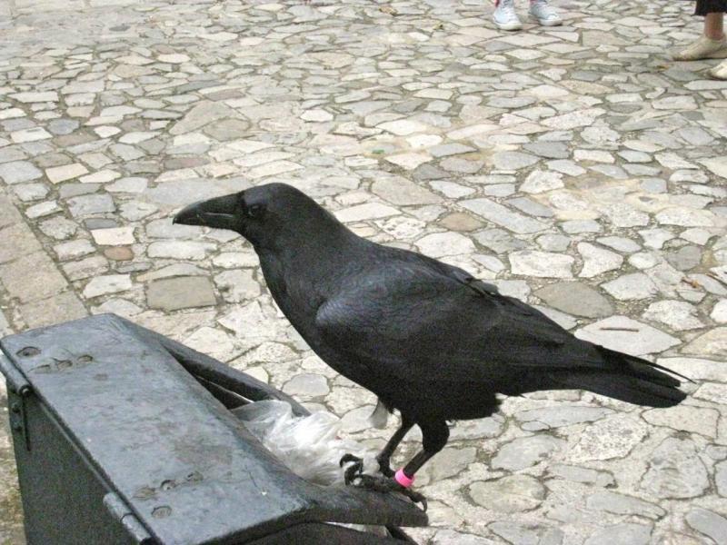 Les Corbeaux de la Tour